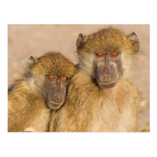 Chacma Baboon, two subadults in the early morning Postcard