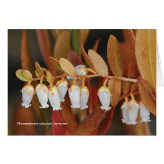 Chamaedaphne calyculata, leatherleaf card