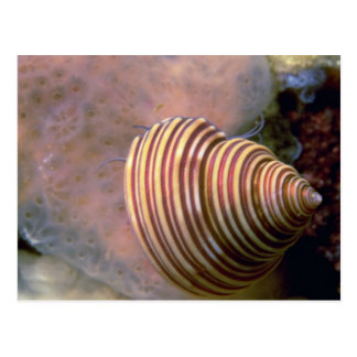 Channeled top shell Shell Postcard