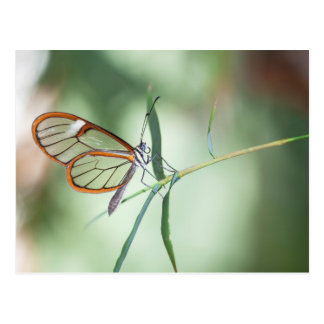 Charming Clear-wing Postcard