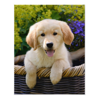Charming Goldie Retriever Dog Puppy - Paperprint Photo Print