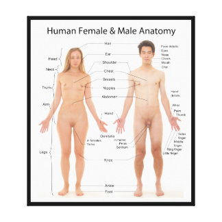 Chart of Basic Human Female and Male Anatomy Stretched Canvas Print