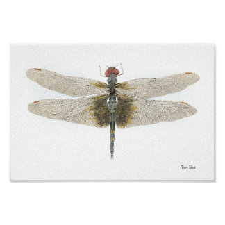 Checkered Setwing Dragonfly Watercolor Poster
