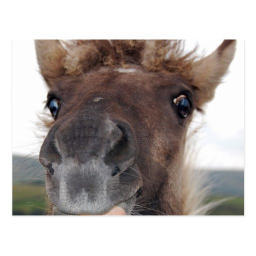 Cheeky Dartmoor Pony Postcard