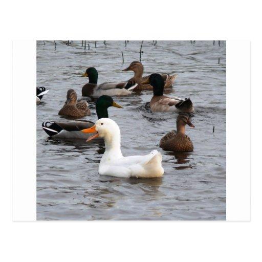 Cheeky Duck Postcards