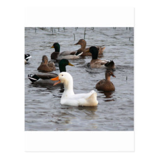 Cheeky Duck Postcard