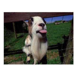 Cheeky Goat Postcard
