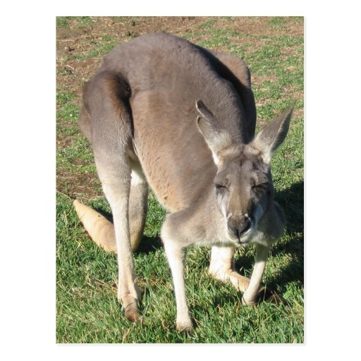 Cheeky Kangaroo - Postcard