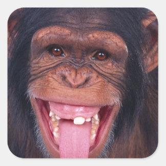 cheeky monkey chimp chimpanzee wild animal square sticker