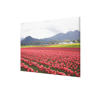 Cheerful tulip fields carpet Skagit Valley in Canvas Print