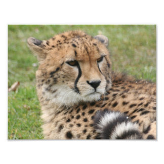 Cheetah 1115 photographic print