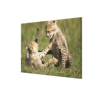 Cheetah, Acinonyx jubatus, cubs playing in the Canvas Prints