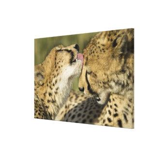 Cheetah, Acinonyx jubatus, mutual grooming in Canvas Print