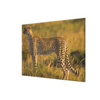 Cheetah Acinonyx jubatus) on plain, Masai Gallery Wrapped Canvas