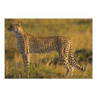 Cheetah Acinonyx jubatus) on plain, Masai Art Photo