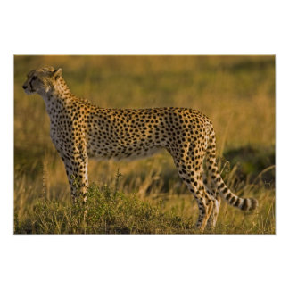 Cheetah Acinonyx jubatus) on plain, Masai Poster