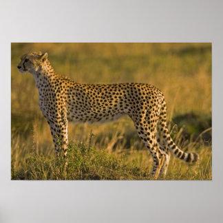 Cheetah Acinonyx jubatus on plain Masai Print
