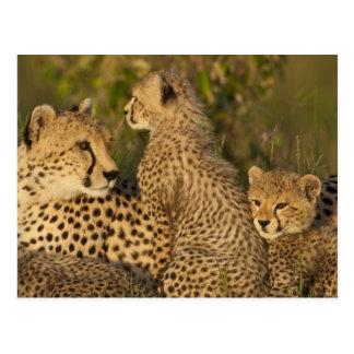 Cheetah, Acinonyx jubatus, Upper Mara, Masai Postcard