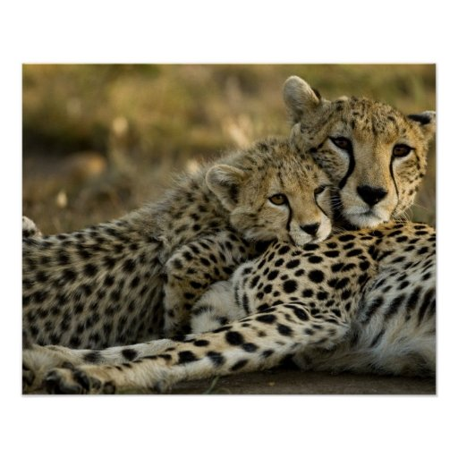 Cheetah, Acinonyx jubatus, with cub in the Masai 2 Poster