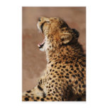 Cheetah could scare a lion stationery paper