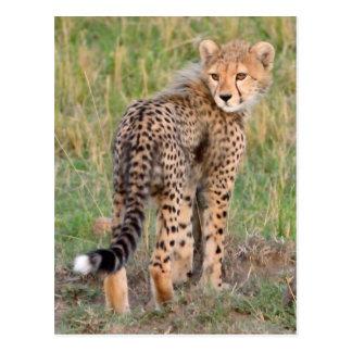 Cheetah Cub Looking Your Way. Postcard