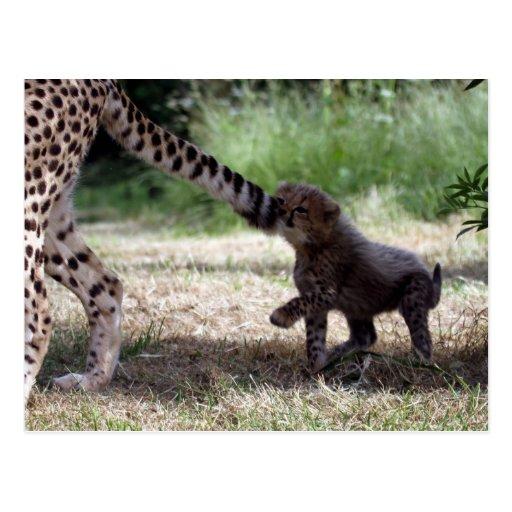 Cheetah cub post card