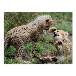 Cheetah Cubs Playing Postcard