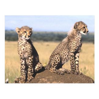 Cheetah Cubs Post Card