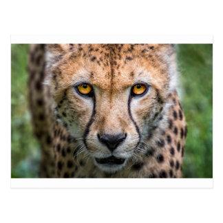 Cheetah Head Postcard