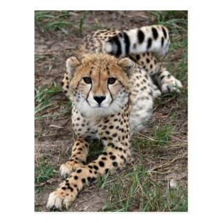 Cheetah Info Card Postcard