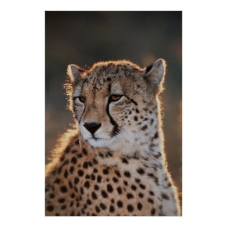 Cheetah looking away poster