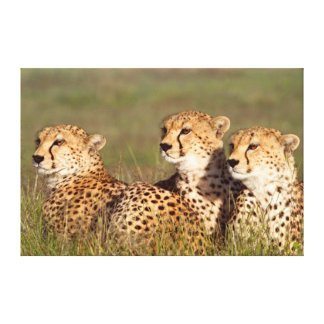 Cheetah Lying In Grass, Ngorongoro Conservation Gallery Wrap Canvas