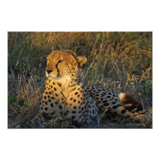 CHEETAH LYING IN THE GRASS PHOTO