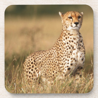 Cheetah on small mound for better visibility beverage coasters
