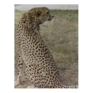 Cheetah Profile Postcard