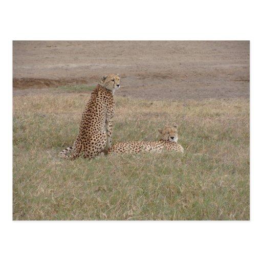 Cheetahs-Ngorongoro Crater Postcards