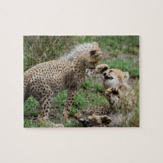 Cheetahs Playing Puzzle