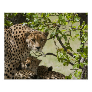 Cheetahs rest in the shade poster