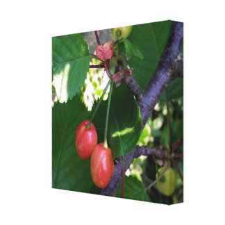Cherries turning red canvas print