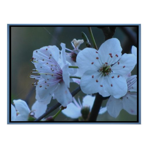 Cherry Blossom Flowers Posters