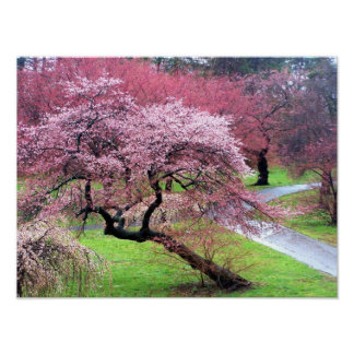 Cherry Blossom Lane Poster