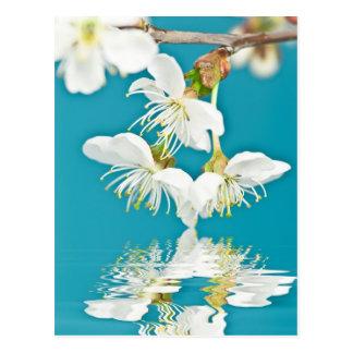 Cherry-blossom Postcard