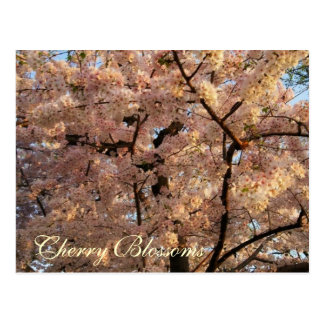 Cherry Blossom Trees Postcard