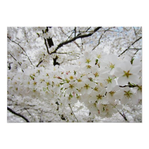 Cherry Blossoms 12 Poster