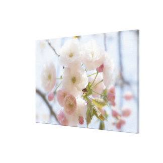 Cherry blossoms 3 canvas print
