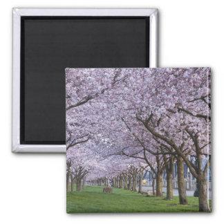 Cherry blossoms along Willamette river, USA Square Magnet