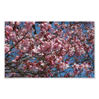 Cherry Blossoms and Blue Sky Spring Floral Photograph