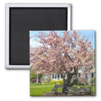 Cherry Blossoms, Elizabeth Park, Hartford CT Square Magnet