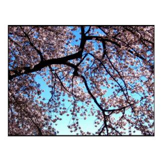 Cherry Blossoms * Love Postcard