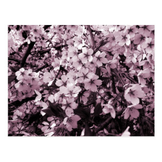Cherry Blossoms Post Cards